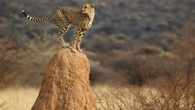 Cheetah look-out. Like the king of the savannah royalty free stock image