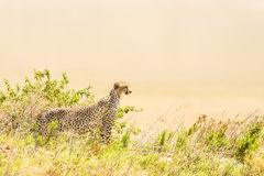 Cheetah look for prey in Serengeti Stock Images