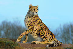 Cheetah looking alert. Cheetah sitting on rock in whipsnade zoo looks alert Royalty Free Stock Photography