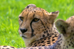 Cheetah Looking Around Closeup Portrait. Cheetah Laying Down Resting and Looking Closeup Portrait Royalty Free Stock Image