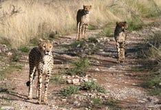 Cheetah Looking At Camera Royalty Free Stock Photography