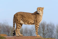 Cheetah looking back Royalty Free Stock Photography