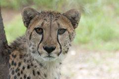 Cheetah Looking At Camera Royalty Free Stock Images
