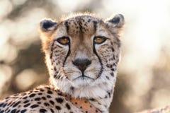 Cheetah looking at the camera Royalty Free Stock Photos