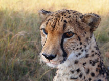 Cheetah looking into the distance Stock Images