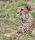 Cheetah looking into the distance. Young Cheetah looking something forward Stock Photos