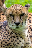 Cheetah Looking Forward Portrait. Cheetah Laying Down Resting and Looking Forward Closeup Portrait Stock Photo