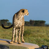 Cheetah looking off stock photography