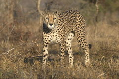 Cheetah looking out Stock Images