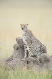 Cheetah looking out. Cheetah sitting on a termite mound, looking out for potential prey Royalty Free Stock Images