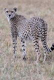 Cheetah looking over shoulder Royalty Free Stock Image