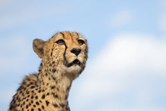 Cheetah looking for prey Stock Images