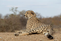 Cheetah looking for prey Royalty Free Stock Photo
