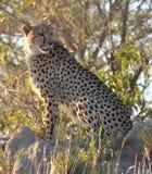 Kruger Cheetah. Cheetah looking for prey in Kruger National Park Stock Image
