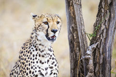 Cheetah looking after prey in Serengeti. African cheetah looking for enemies at the Savannah in Serengeti, Tanzania Royalty Free Stock Photos