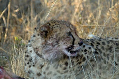 Cheetah  looking sideways with collar Stock Photography