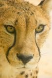 Cheetah looking at something Stock Images