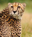 Cheetah sitting in tall grass stock image