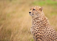 Cheetah sitting in tall grass stock photography