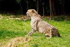 Cheetah on the lookout stock photography