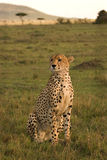 Cheetah on the lookout Stock Photo