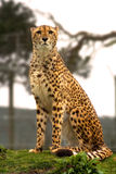 Cheetah on lookout. Head on Cheetah, sitting looking into camera royalty free stock photos