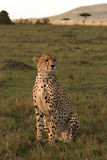 Cheetah on lookout in Mara Stock Image