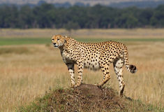 Cheetah on lookout, Masai Mara, Kenya Stock Photos
