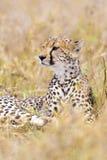 Cheetah looks after enemies in Serengeti Royalty Free Stock Image