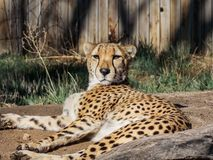 Cheetah Lounging About On A Sunny Afternoon. Cheetah, having a lazy afternoon. Warming himself in the sun. This image of Acinonyx jubatus taken at the zoo.The Stock Image