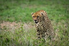 Cheetah stares ahead sitting on grassy plainCheetah with lowered head staring over grassland Royalty Free Stock Image