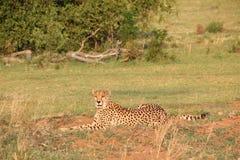 Cheetah lying DJE Stock Photography