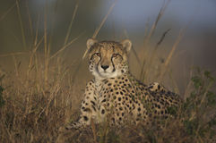Cheetah lying down. Looking toward camera Royalty Free Stock Photography