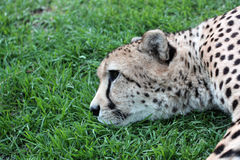 Cheetah Lying Down Royalty Free Stock Images