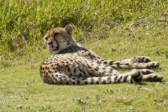 Cheetah lying down. Cheetah lying in the midday sun on some short grass licking its lips Royalty Free Stock Images