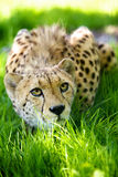 Cheetah lying in grass. An adult cheetah lying in shaded grass Royalty Free Stock Image