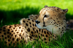 Cheetah lying in grass. An adult cheetah lying in shaded grass Royalty Free Stock Photos