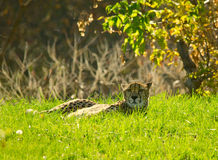 Cheetah lying in the grass. Cheetah with a raised head in a tall grass Stock Photo