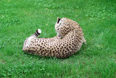 Cheetah. Lying in the grass Stock Photography