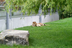 Cheetah. Lying in the grass stock images