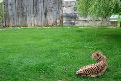 Cheetah. Lying in the grass Stock Image