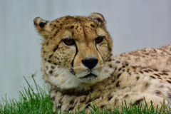 Cheetah. Lying in the grass Royalty Free Stock Images