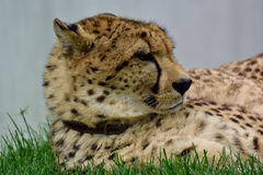 Cheetah. Lying in the grass Royalty Free Stock Photos