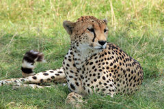 Cheetah Lying in the Grass. Cheetah Acinonyx Jubatus Lying in the Grass, Maasai Mara, Kenya Royalty Free Stock Photo