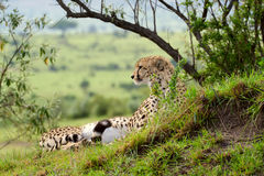 Cheetah lying on the grass in african savannah. Cheetah (Acinonyx jubatus). Large-sized feline inhabiting most of Africa and parts of the Middle East. Photo was Royalty Free Stock Images