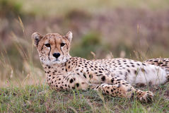 Cheetah lying in the grass. Beautiful cheetah lying in high grass of African savanna, Kenya Royalty Free Stock Photos