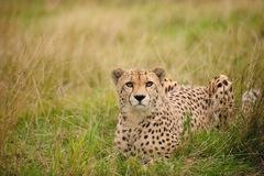 Cheetah lying in grass royalty free stock photo