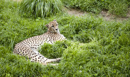 Cheetah lying in the grass. Cheetah lying in the green grass Stock Photos