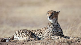 Cheetah lying on the grass and looks afield. Masai Mara Game Reserve, Kenya Royalty Free Stock Photo