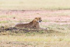 Cheetah lying in the grass. Cheetah lying on the savanna and looking Stock Photos